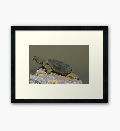 Large snapping turtle Framed Print