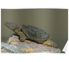 Large snapping turtle Poster