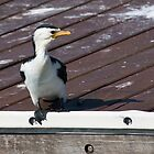black faced Cormorant by kevin chippindall