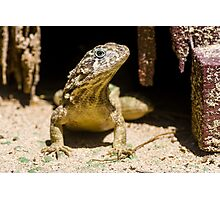 Northern Curly-Tailed Lizard Photographic Print