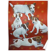 Jack Russells 2 Poster