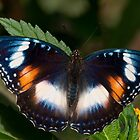 Common Eggfly female, Northern Territory, Australia by Erik Schlogl