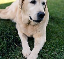 Labrador Retriever  by justinmatoi