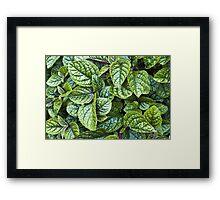 Nico Plectranthus Framed Print