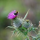 Thistle & the Bee two stingers  by Declan Carr