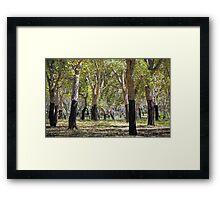 Cork Oaks of Canberra Framed Print