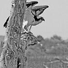 Colorado River Osprey by CarolM