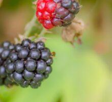 Lovely Blackberries Sticker