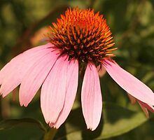 Coneflower by Linda  Makiej