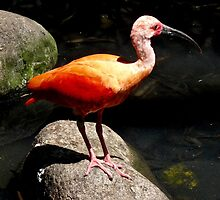 RED IBIS by Marilyn Grimble