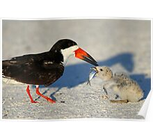 Black Skimmer 3:Successful transfer-Chick now has fish! Poster