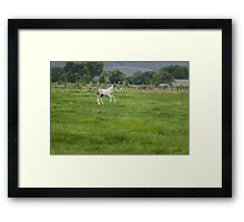 Playful colt  Framed Print