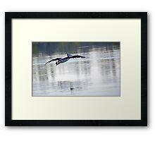 Australian Pelican in Flight Framed Print