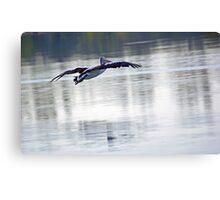 Australian Pelican in Flight Canvas Print