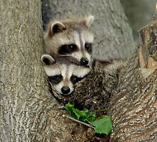 Baby Raccoons Taking a Look at the Outside World.  by vette