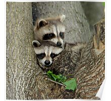 Baby Raccoons Taking a Look at the Outside World.  Poster