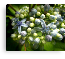 Blue flowers and flower buds of Agapanthus Canvas Print