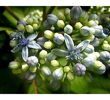 Blue flowers and flower buds of Agapanthus Photographic Print