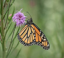 Fall Monarch 2016-2 by Thomas Young
