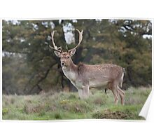 Fallow Deer Stag Poster