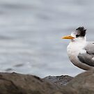 Crested Terns by Chris Cobern