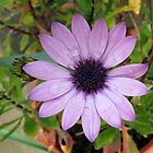 Raindrops on Petals - Pretty Pink Cape Daisy by BlueMoonRose