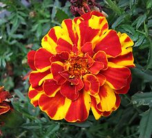 Flamboyant French Marigold by MidnightMelody