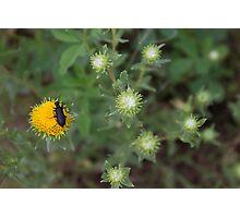 beetle on a dandelion Photographic Print