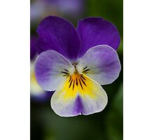 purple pansy Photographic Print