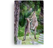 Male Kangaroos Fighting Canvas Print