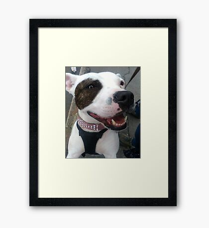 Cute white brown spotted staffy Framed Print