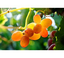 Vineyard, Close up of a back lit cluster of ripe grapes Photographic Print