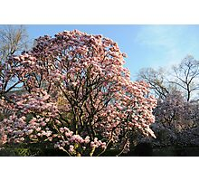 Cherry Blossom Sakura Tree in New York City, Central Park Photographic Print