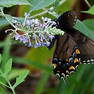 Female Eastern Tiger Swallowtail by Otto Danby II