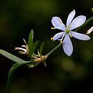 Spider Plant Blossom by Otto Danby II