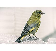 A Greenfinch Came To Visit Photographic Print