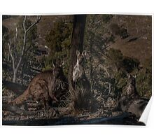 Old Man Wallaby and his Family Poster