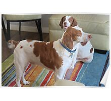 Brittany Spaniel 10 Poster