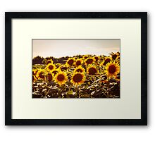 sunflowers field in a summer day Framed Print