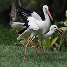 Stork Play by byronbackyard