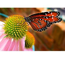 Butterfly and Coneflower (Echinacea) Photographic Print