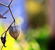 Afternoon Physalis Peruviana by LouJay