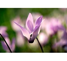 Cyclamen persicum Persian Violets, Israel Spring March  Photographic Print