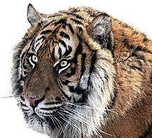 Panthera Tigris by Catherine Hamilton-Veal  ©