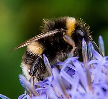 Bumble bee on blue flower by owlpiliph