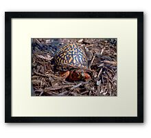 Male Box Turtle Framed Print