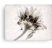 Sunflower Study #2 Canvas Print