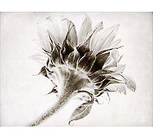 Sunflower Study #2 Photographic Print