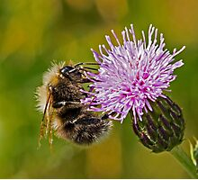 Bumble Bee on Thistle Head Photographic Print