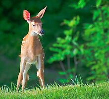 Pretty Fawn (White Tailed Deer) by Yannik Hay